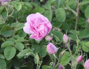 rosa-damascena.jpg